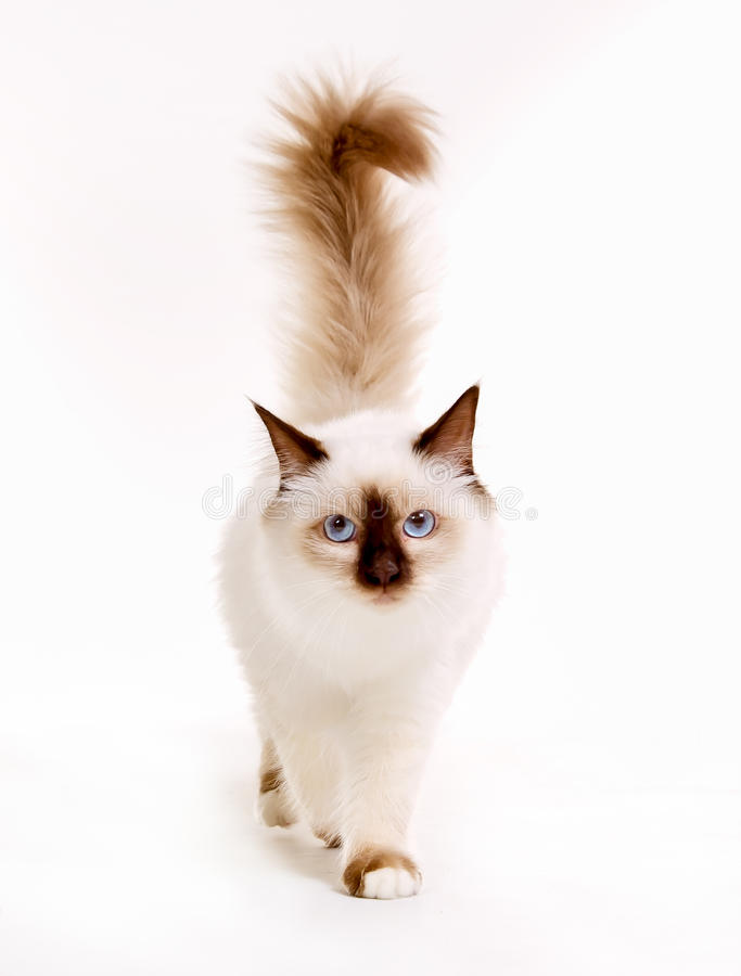 Sacred Birman cat. Purebred sacred birman cat isolated on white background in studio royalty free stock image