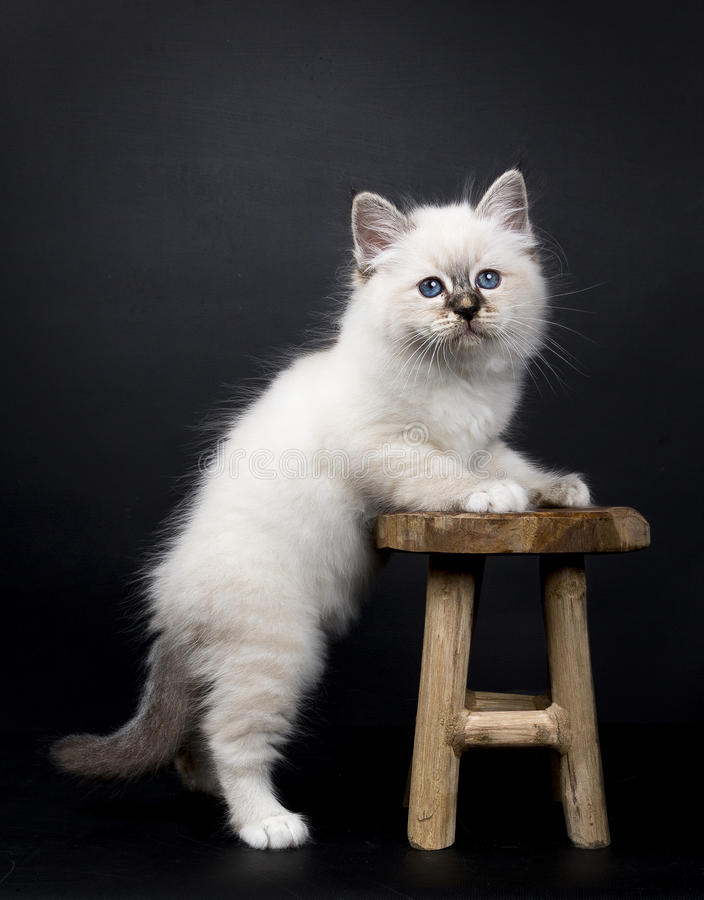 Sacred Birman kitten standing with front paws on a wooden stool, isolated on black background. Sacred Birman kitten on black stock images