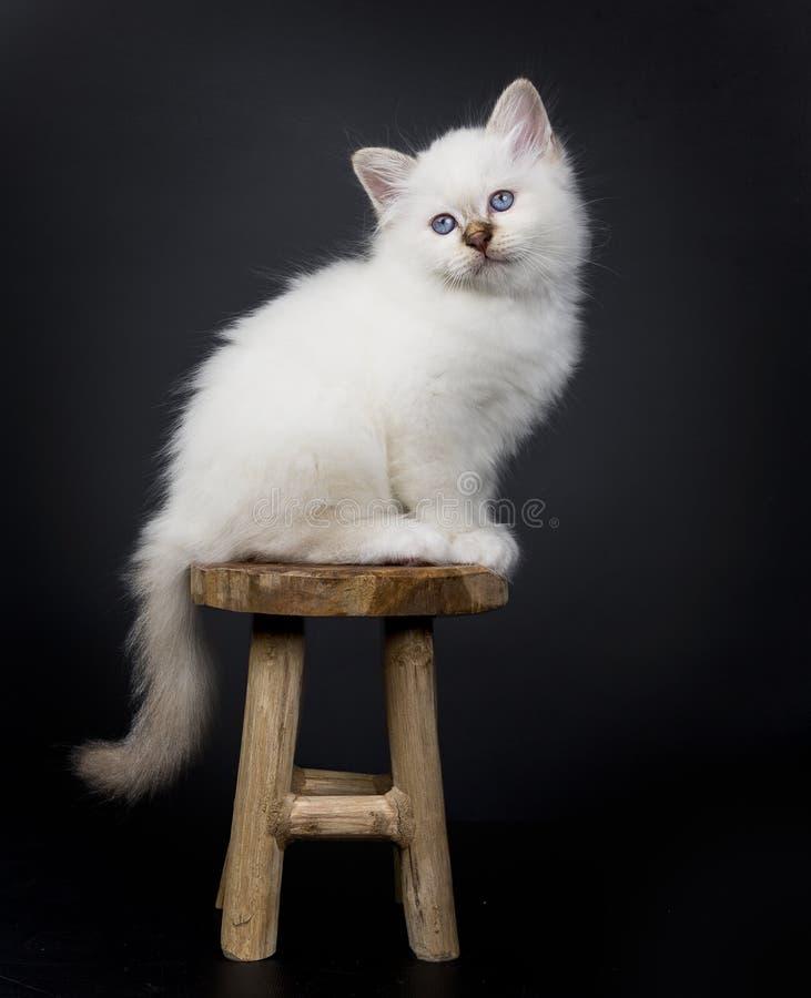 Sacred Birman sitting on a wooden stool. Sacred Birman kitten sittings on a wooden stool, isolated on black background stock photos