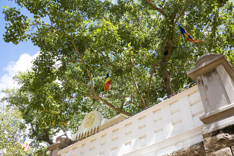 Sacred Bo Tree, Anuradhapura, Sri Lanka. Image of the holy Bo-tree at Bodhi Temple (Sri Maha Bodhiya), Anuradhapura, Sri Lanka. This tree was grown from a stock photography