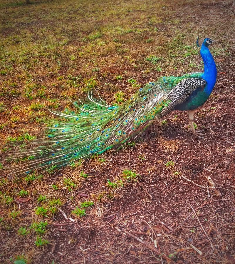 The Sacred and Colorful Peacock stock image