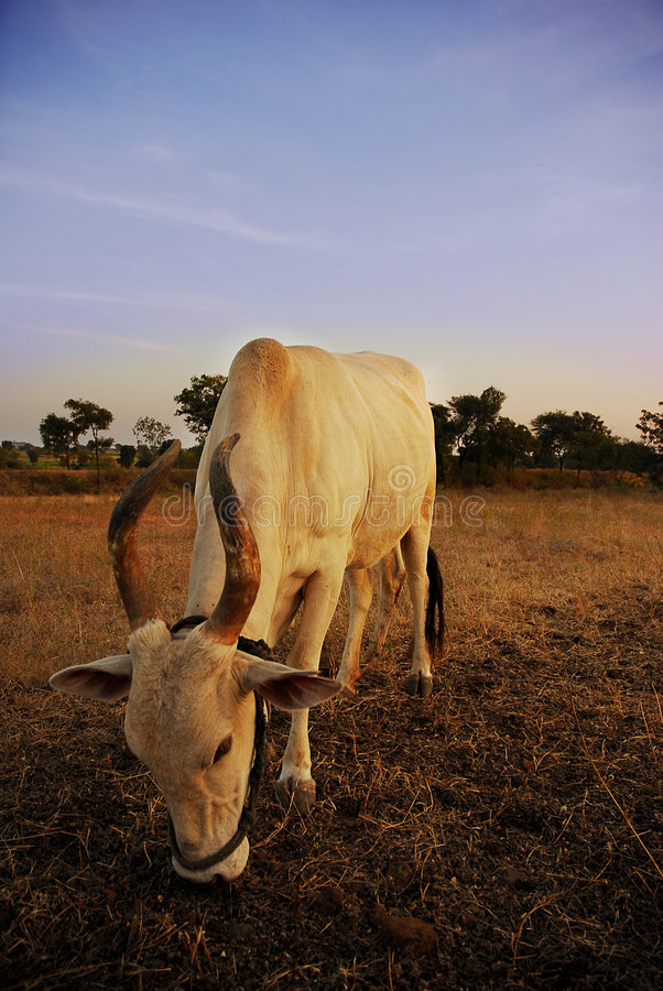 Download Sacred Cow stock image. Image of village, horns, fields - 4973439