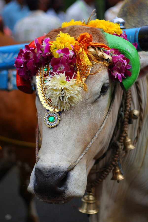 Sacred Cow. During Thaipusam celebration royalty free stock photo