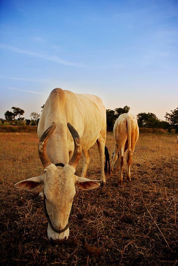 Download Sacred Cow and calf stock photo. Image of angle, grazing - 4973440