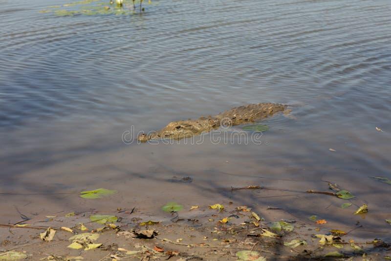sacred crocodile, Burkina Faso stock photos