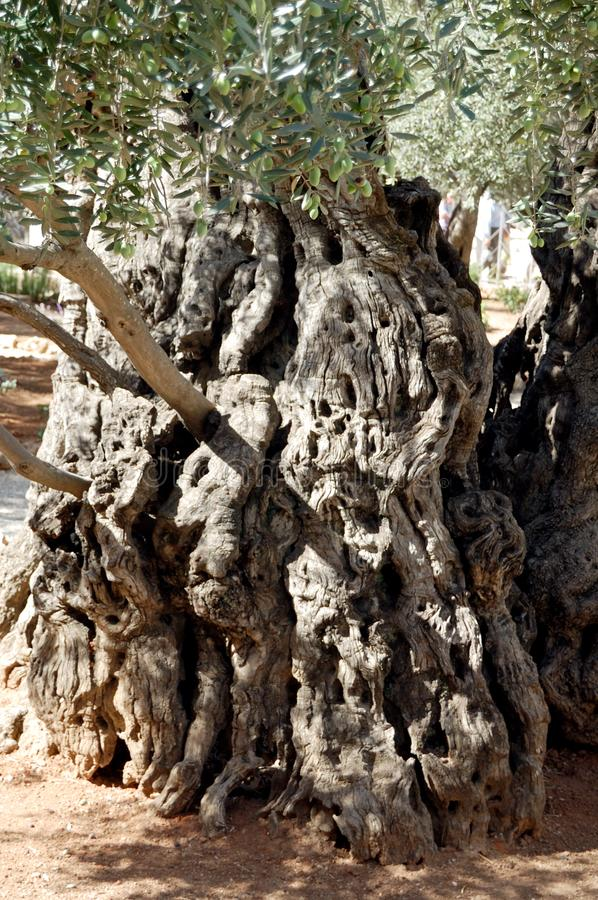 Sacred Gethsemane gardens olive in Jerusalem royalty free stock images