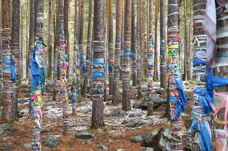 Sacred Grove of tears. Zalaal - tapes, tied to the trees. Arshan village, Buryatia royalty free stock photo