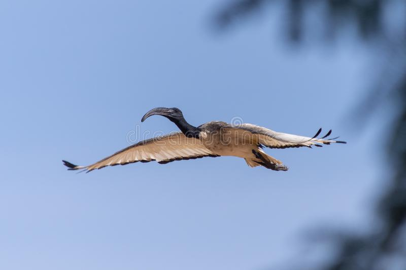 Flying Sacred Ibis in Blue Sky royalty free stock photo