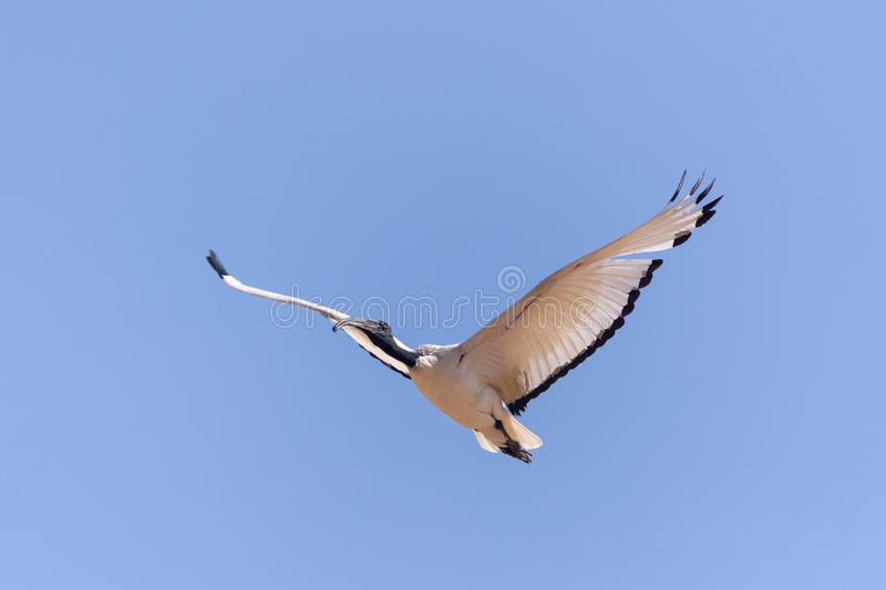 Flying Sacred Ibis in Blue Sky royalty free stock image