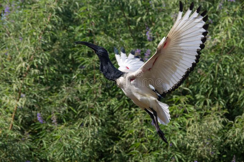 A Sacred Ibis Taking off in the Trees stock image