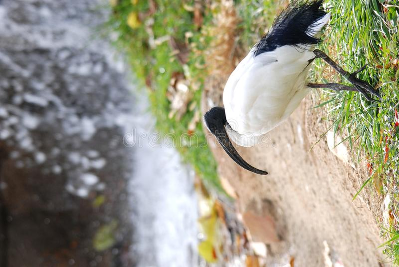 Download Sacred ibis stock image. Image of grass, white, walk - 17293957