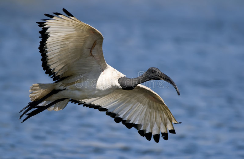 Sacred ibis royalty free stock photography
