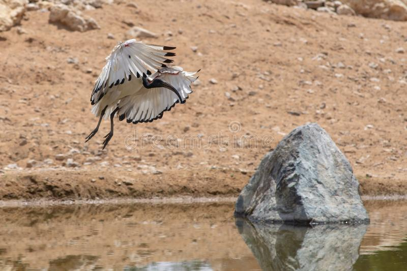 A Sacred Ibis landing showing off  its beautiful white and red wings against a sandy background near a pond Threskiornis royalty free stock images