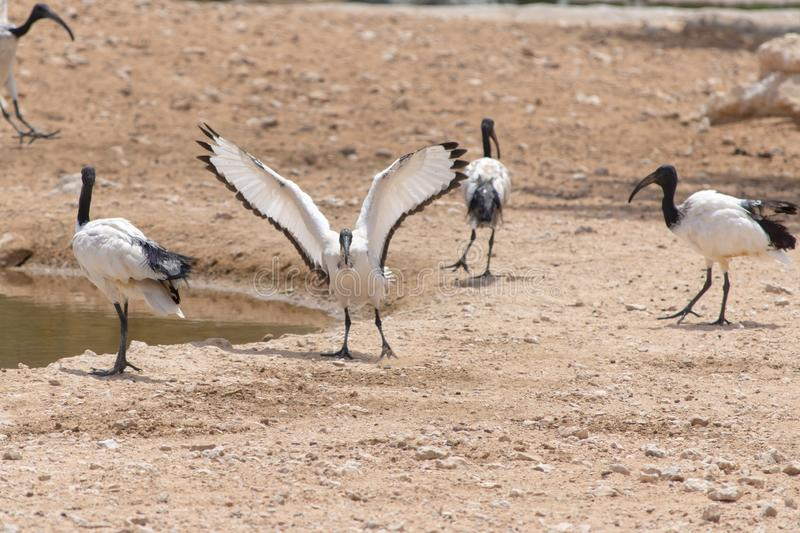 A Sacred Ibis landing showing off  its beautiful white and red wings against a sandy background near a pond Threskiornis royalty free stock image