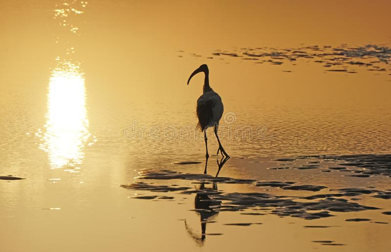 The sacred ibis and reflection in the water in the rays of the departing sun. royalty free stock photography