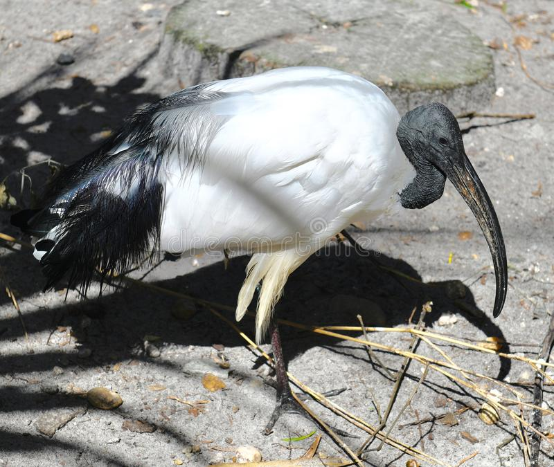 A Sacred Ibis royalty free stock image