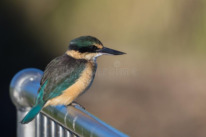 Sacred Kingfisher of Australasia. Medium sized kingfisher of open and wood lands with a range of plumage from blue to green royalty free stock photo