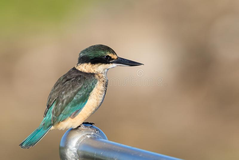Sacred Kingfisher of Australasia. Medium sized kingfisher of open and wood lands with a range of plumage from blue to green royalty free stock images