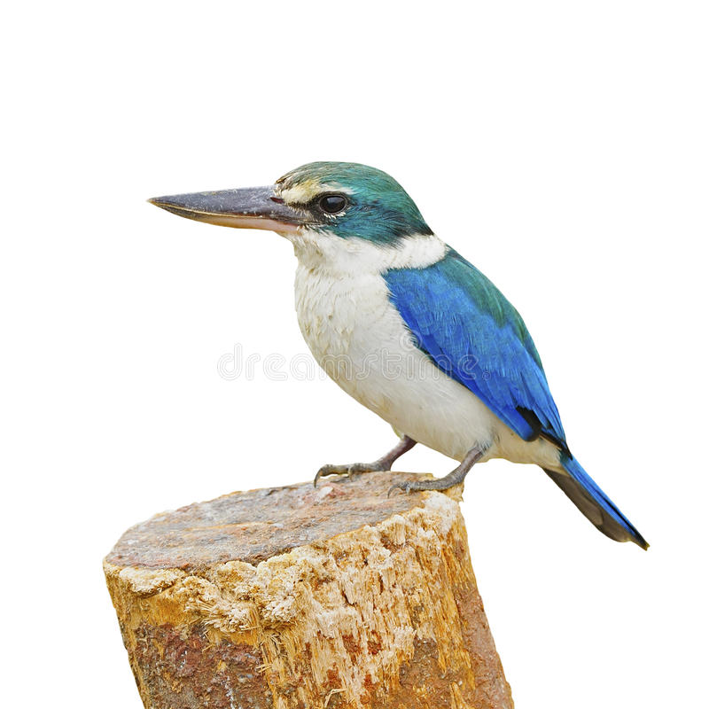 Sacred Kingfisher. Beautiful blue and white Kingfisher, Sacred Kingfisher (Todiramphus sanctus), standing on the stump, breast profile, isolate on a white stock image