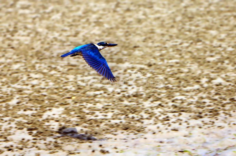 The sacred kingfisher bird stock photos