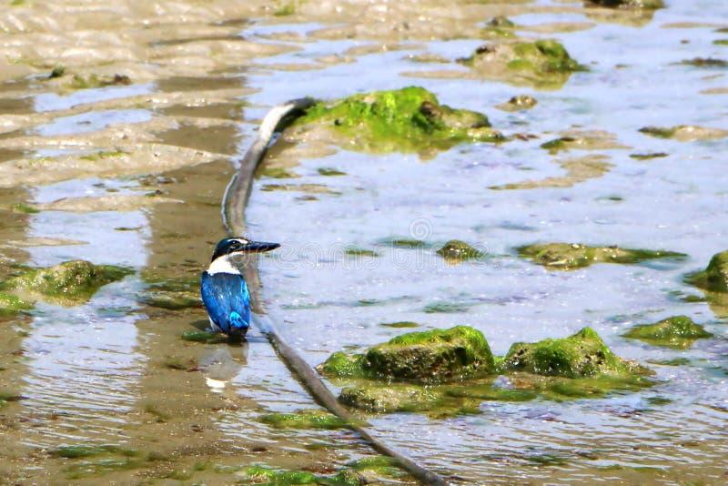 The sacred kingfisher bird Todiramphus sanctus. Is a medium-sized woodland kingfisher stock photos