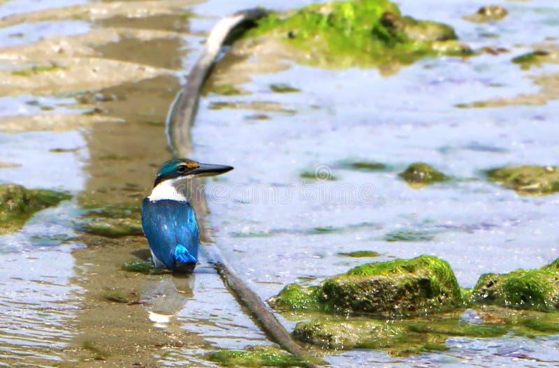 The sacred kingfisher birdTodiramphus sanctus. Is a medium-sized woodland kingfisher stock image