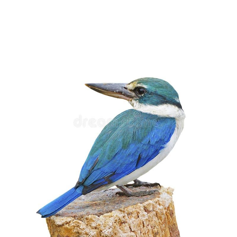 Sacred Kingfisher. Blue and white Kingfisher, Sacred Kingfisher (Todiramphus sanctus), standing on the stump, isolate on a white background stock photo