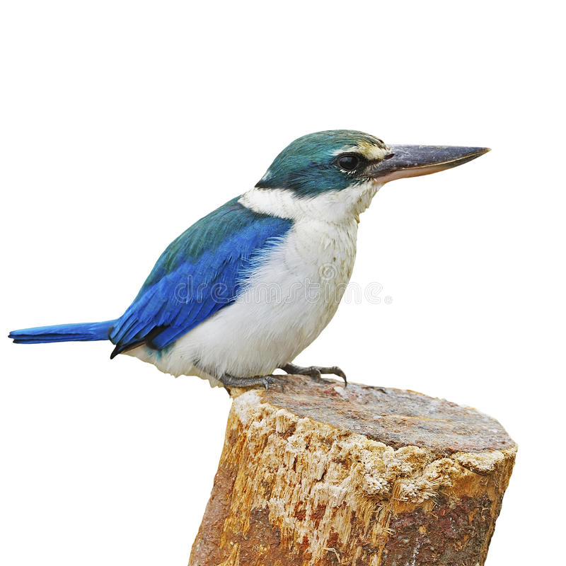 Sacred Kingfisher. Colorful blue and white Kingfisher, Sacred Kingfisher (Todiramphus sanctus), standing on the stump, breast profile, isolate on a white stock photos
