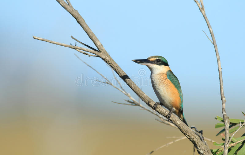 Sacred Kingfisher with copy space. A Sacred Kingfisher, Todiramphus sanctus, sitting on a small branch overlooking a wetland creek royalty free stock images