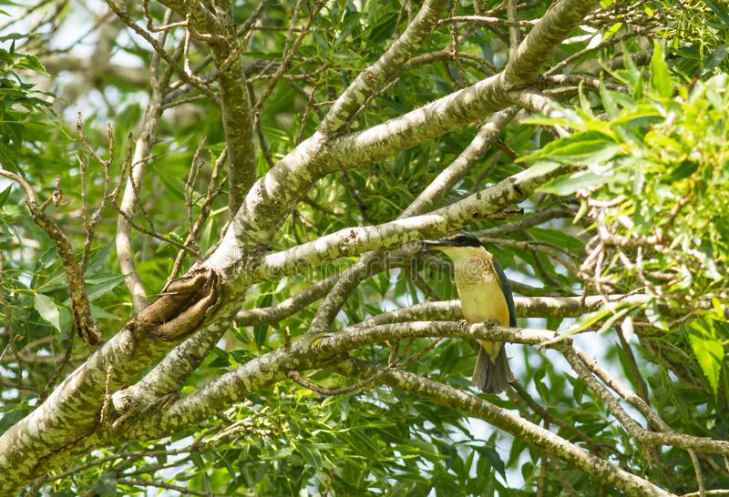 Sacred kingfisher odiramphus sanctus Vigors & Horsfield, 1827 on a tree. With many leaves stock image