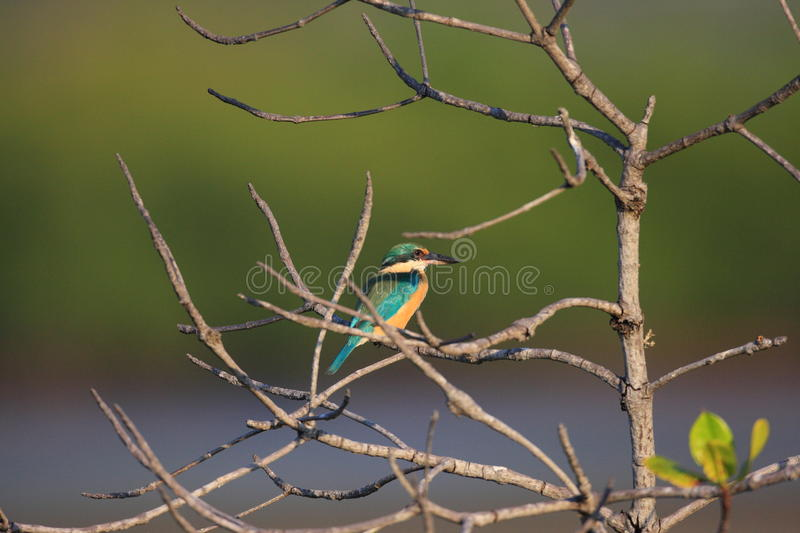 Sacred Kingfisher stock image