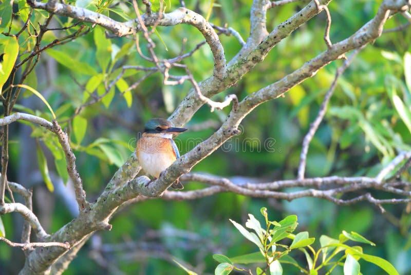 Sacred Kingfisher. (Todiramphus sanctus) in Bali Island , Indonesia stock photography
