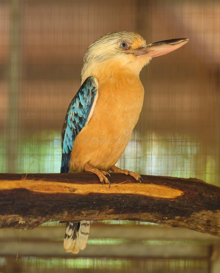 Sacred Kingfisher royalty free stock images