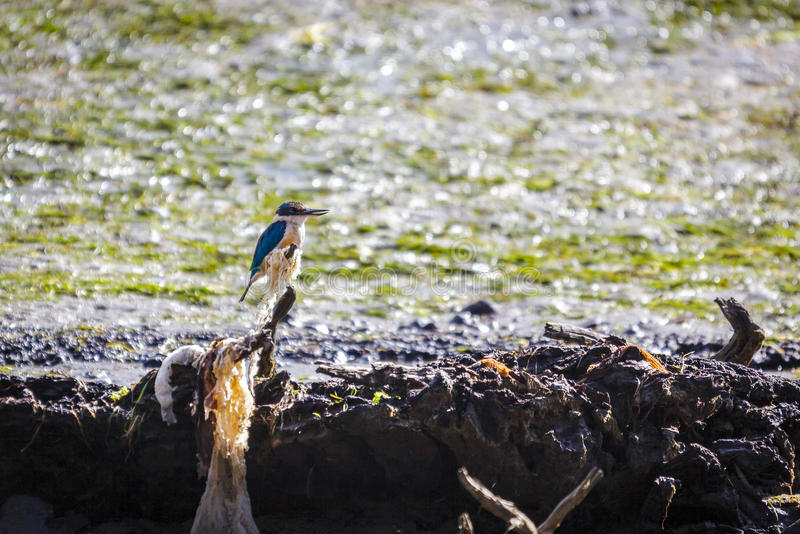 Sacred Kingfisher (Todiramphus sanctus). Perched on a tree stump stock photography