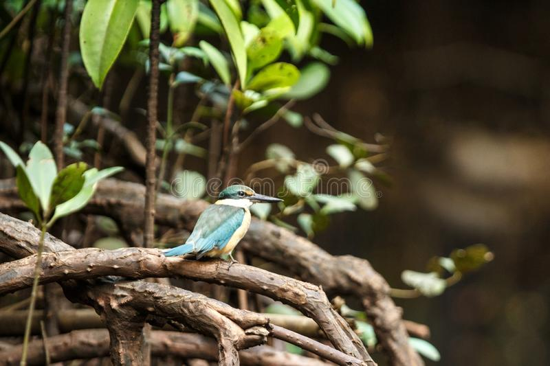 The sacred kingfisher Todiramphus sanctus perches on a branch in mangrove bush, family Alcedinidae, endemic species to Indonesia. Exotic birding in Asia stock photos