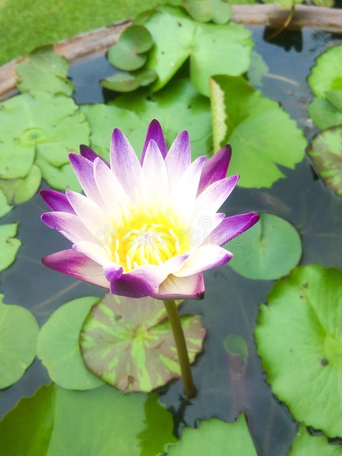 Sacred lotus.Beautiful purple Lotus Flower and water background. royalty free stock images
