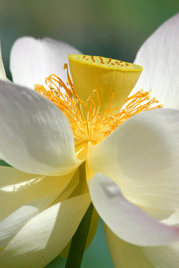 Download Sacred Lotus flowers stock photo. Image of yellow, closeup - 8658262