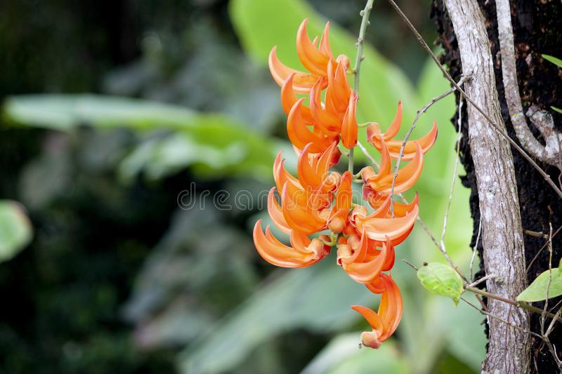 Butea beautiful flower on the tree. royalty free stock images
