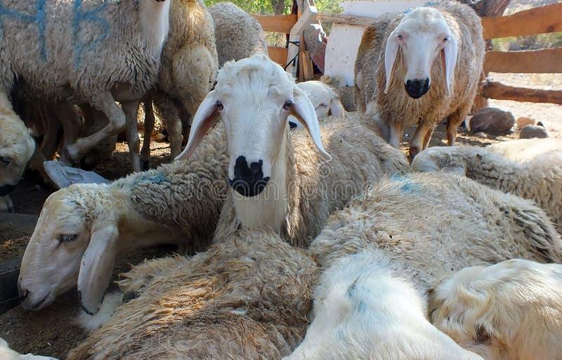 Sacrificial sheep for festival of sacrifices in muslim countries, aid mubarak. Sacrificial sheep for festival of sacrifices in muslim countries stock photo