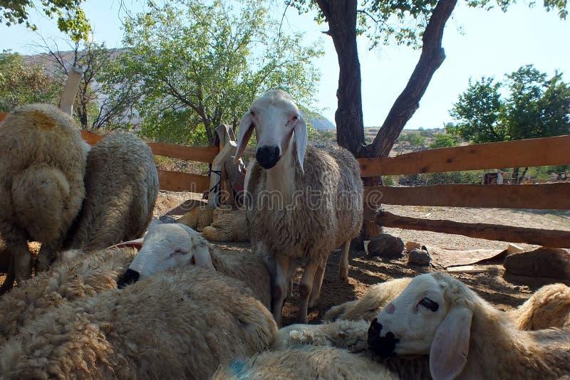 Sacrificial sheep for festival of sacrifices in muslim countries, aid mubarak. Sacrificial sheep for festival of sacrifices in muslim countries stock images