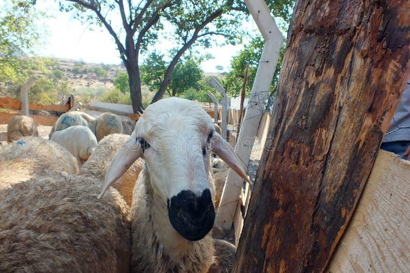 Sacrificial sheep for festival of sacrifices in muslim countries, aid mubarak. Sacrificial sheep for festival of sacrifices in muslim countries royalty free stock photo