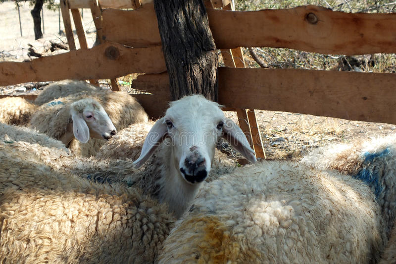 Sacrificial sheep for festival of sacrifices in muslim countries. Sacrificial, sheep, sheeps, festival, festivals, sacrifices,religious, religion, muslim royalty free stock images