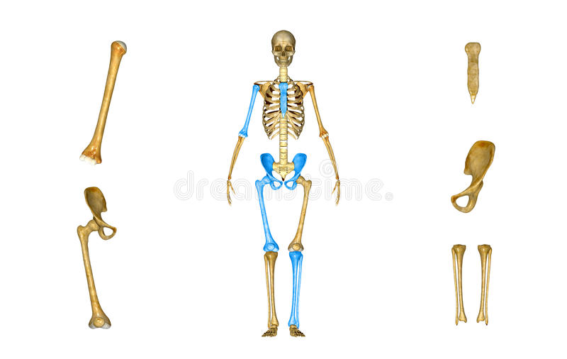 Sacrum, Humerus, Femur, Tibia And Fibula, Pelvic Or Hip ...