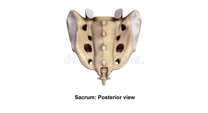 Sacrum Posterior view. It also articulates with the hip bones. The sacrum has a base, an apex, and three surfaces a pelvic, dorsal and a lateral surface. The stock illustration