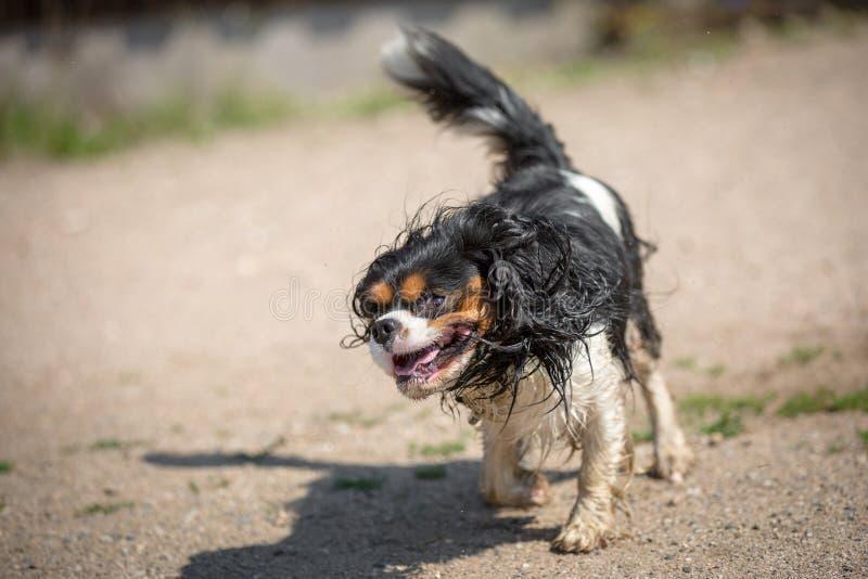 Sacudidas del perro foto de archivo libre de regalías