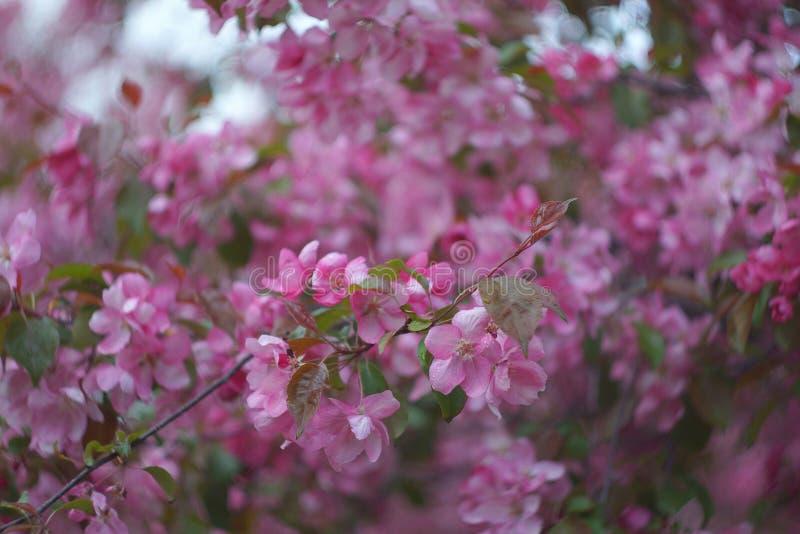 Sacura blommande trädgårds- bakgrund, rosa Apple träd, selektiv fokus arkivbilder