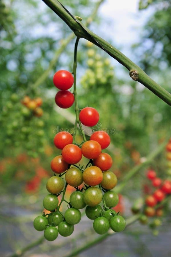 Sadów Pomidory Narastający Drzewni zdjęcie royalty free