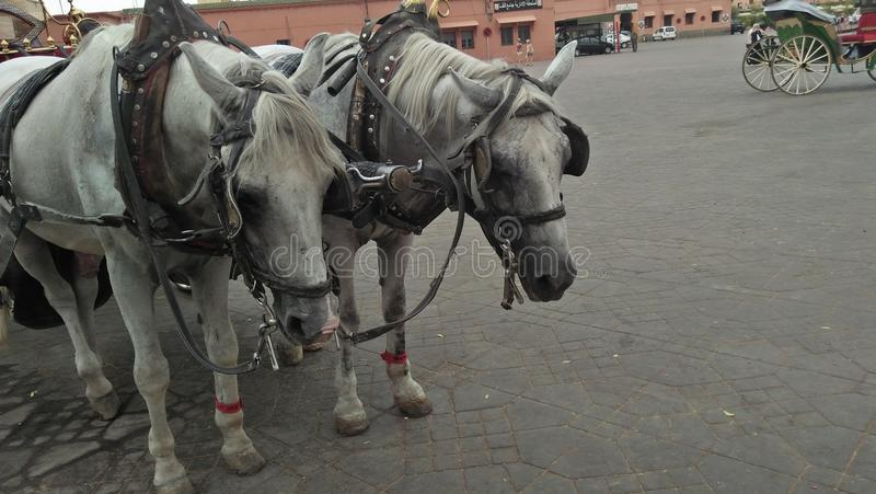 Sad of animal in jamma lfna marrakech stock photo