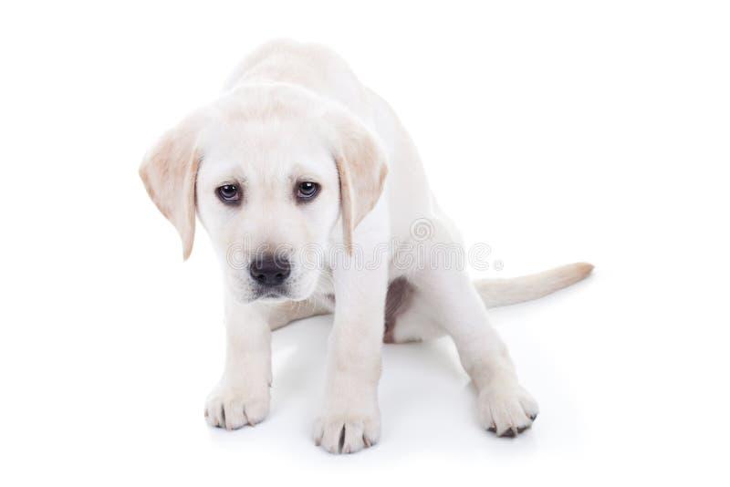 Sad or Bad Dog. Sad or bad Labrador puppy dog royalty free stock images