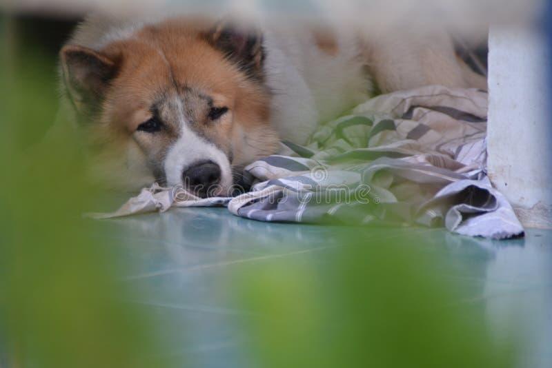 Sad Bangkaew dog in the bad mood day. Sad Bangkaew moody dog in the bad mood day with green foreground royalty free stock photos